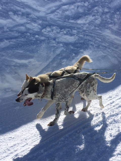 verbier dog sledding